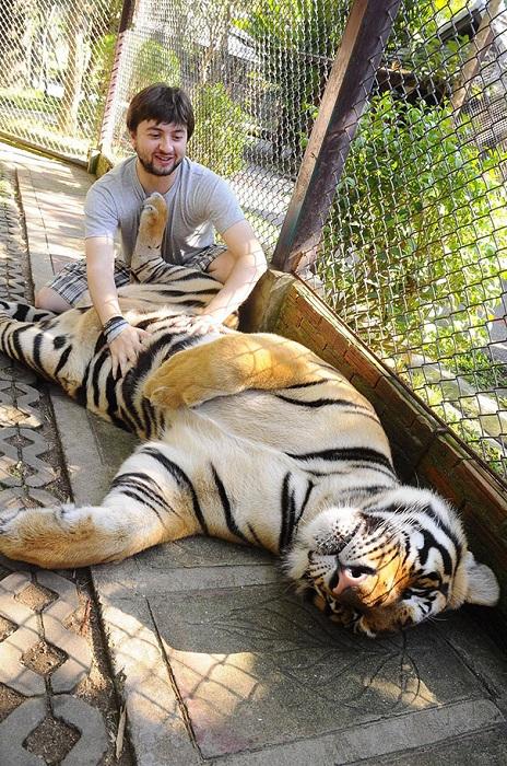 Тигру щекочут брюхо.