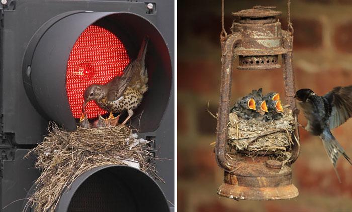 Птичьи гнезда, расположенные в неожиданных местах.
