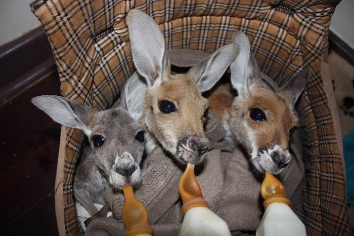 Маленькие кенгурята: время кормления.