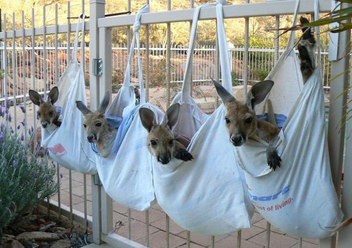 Детеныши кенгуру, помещенные в сумки.