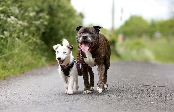 Пес стал поводырем для другой собаки.