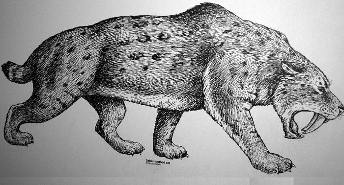 Smilodon fatalis - доисторический саблезубый тигр. | Фото: historicmysteries.com.