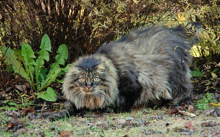 Огромный лохматый котяра - хищник норвежских лесов.