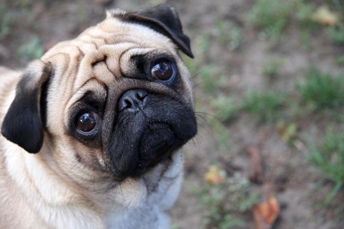 Мопс - самая популярная порода собак в Европе в XVIII веке. | Фото: desktophdw.com.