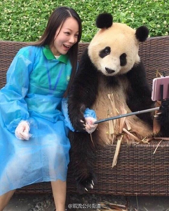 Панда, которая любит делать селфи.