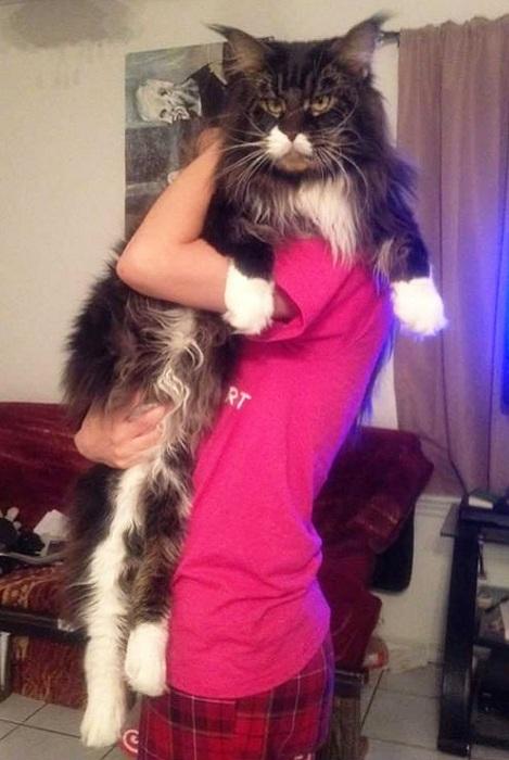 Мяуканье этого котика слышно далеко за пределами квартиры.