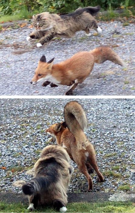 Норвежский кот преследует лисицу.
