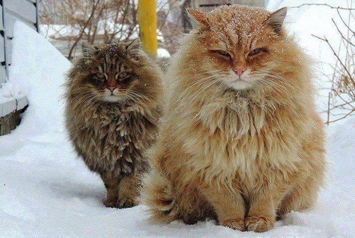Норвеги - кошки с «двухслойной» водонепроницаемой шерстью.