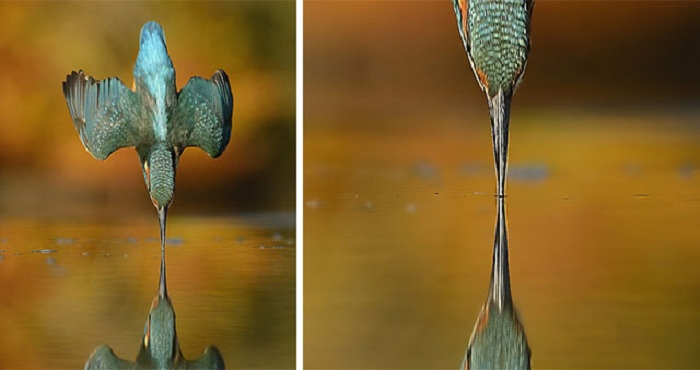 Невероятный кадр зимородка, ныряющего в воду.