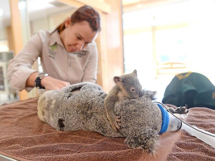 6-месячный детеныш коалы обнимает маму на операционном столе.