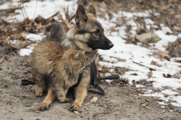 Испытание котом может выдержать не всякая собака. | Фото: factroom.ru.