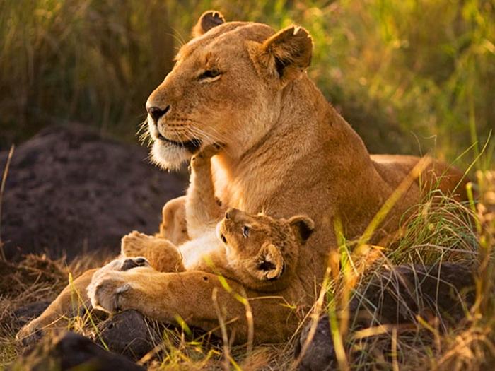 Львенок с львицей.