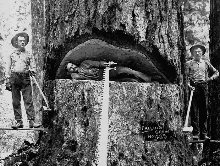 Дровосеки позируют на фоне ели Дугласа. Вашингтон, 1899 год.