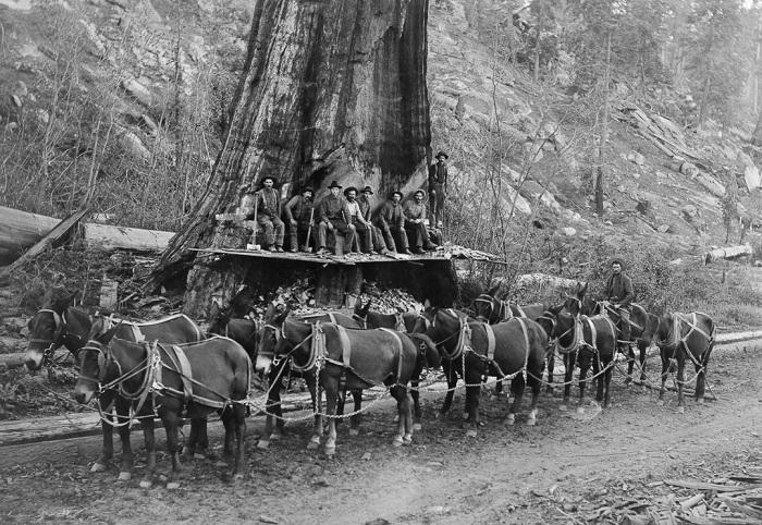 Лесорубы и 10 мулов перед тем, как валить дерево, 1917 год.