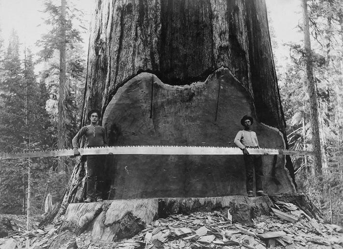 На фоне гигантской секвойи, 1917 год.