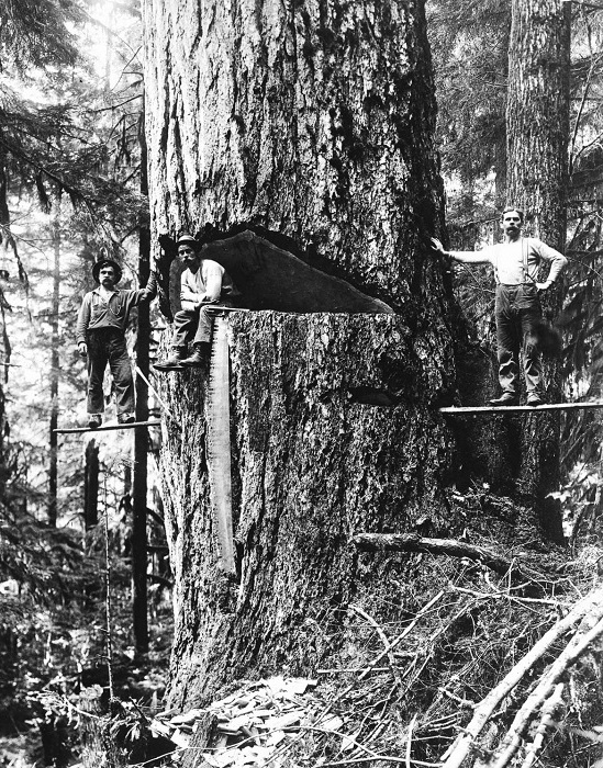 Лесорубы позируют на ели Дугласа, 1918 год.