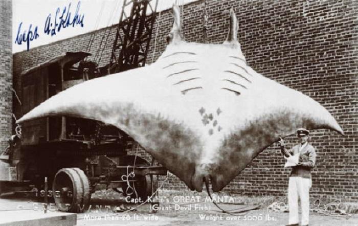 Фейковая фотография гигантского ската (манты). | Фото: gizmodo.com.