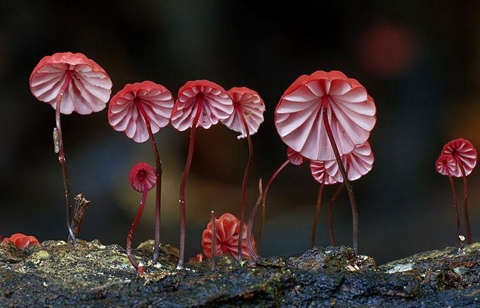 Удивительная макросъемка грибов. Marasmiaceae.