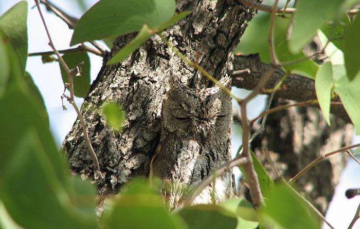 Сова, «слившаяся» с древесной корой.