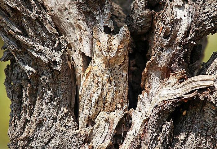 Сова цвета древесной коры.