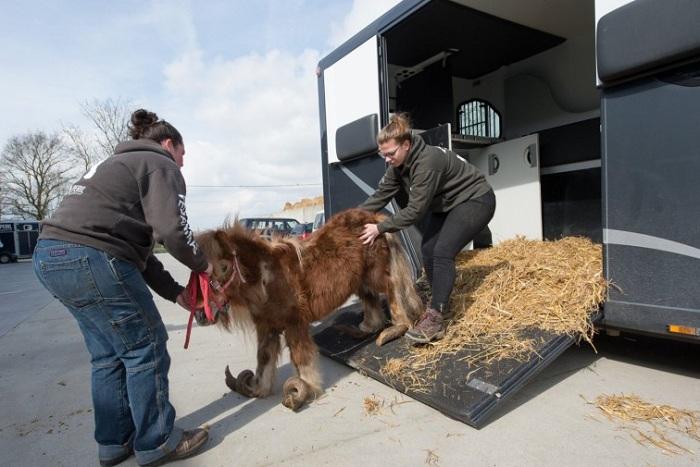 Пони с закрученными копытами даже не мог полноценно передвигаться. | Фото: ushilapychvost.ru.