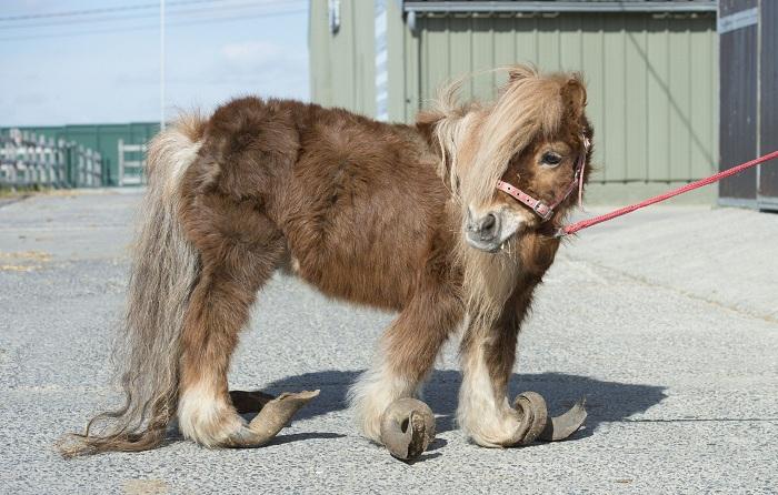 Этого пони содержали в ужасных условиях. | Фото: metrouk2.files.wordpress.com.