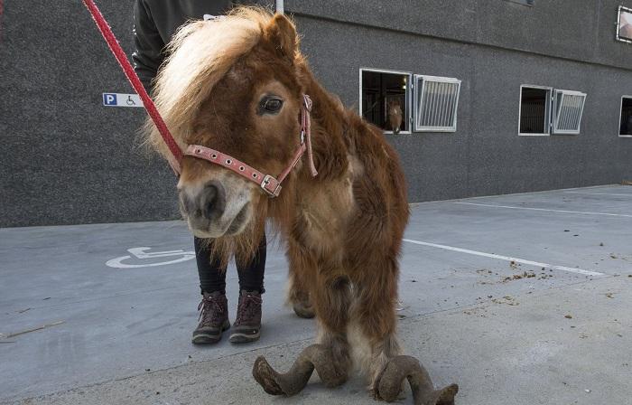 Шетлендскому пони 10 лет не обрезали копыта. | Фото: metrouk2.files.wordpress.com.