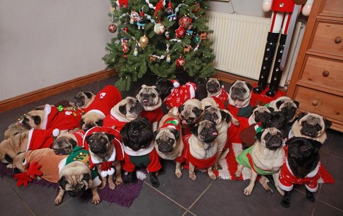 Британка потратила более 1000 фунтов стерлингов на подарки для мопсов. | Фото: thesun.co.uk.