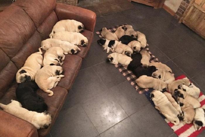 У британки Becca Drake в доме живут 30 мопсов. | Фото: dailymail.co.uk.