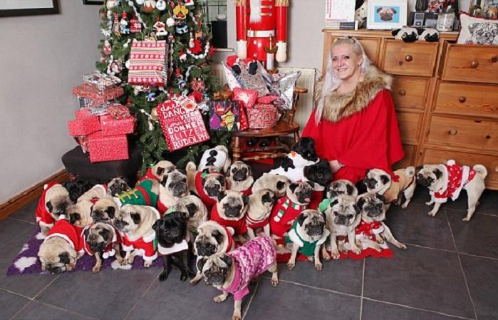 Каждый из этих 30 мопсов получает свой подарок на Рождество. | Фото: dailymail.co.uk.