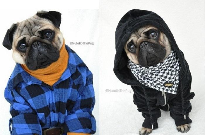 Nutello the Pug - пес-модник.