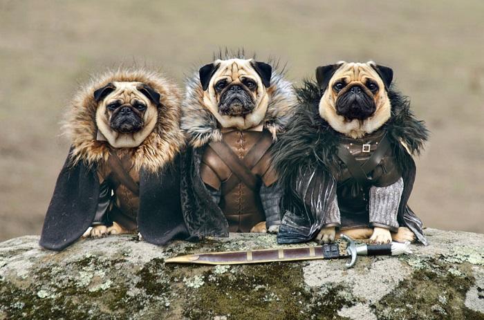 Мопсы в роли персонажей «Игры престолов».