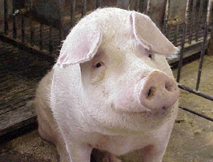 Невоспитанная свинья рассорила британцев и американцев в XIX веке. | Фото: student.progmeistars.lv.