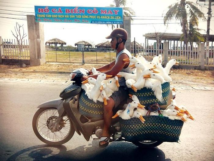 Вьетнамец перевозит множество гусей.