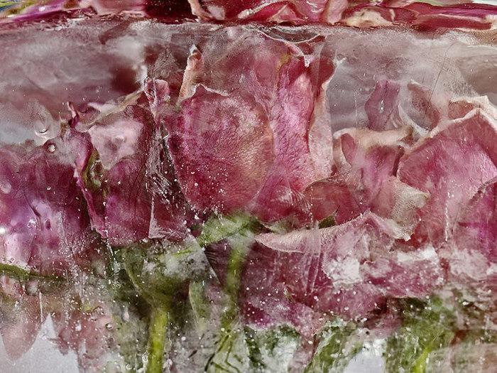 Цветы, начинающие таять в ледяных блоках.