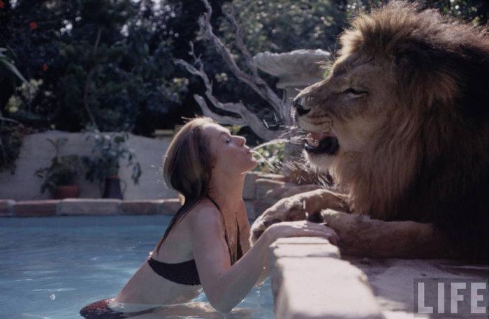 Лев отдыхает у бассейна.