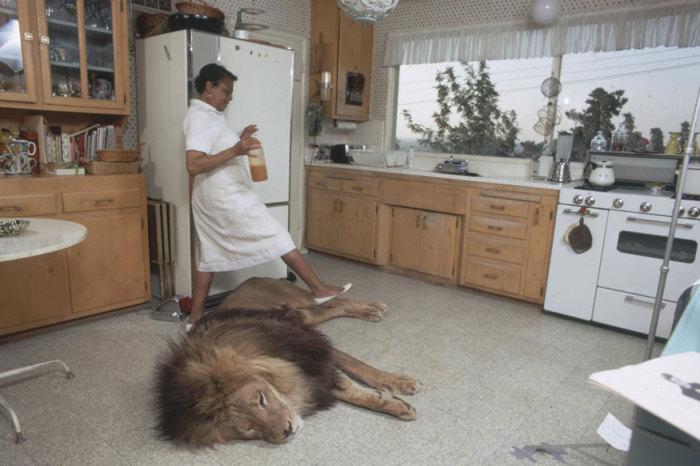 Лев спит на кухне в доме актрисы Типпи Хедрен.