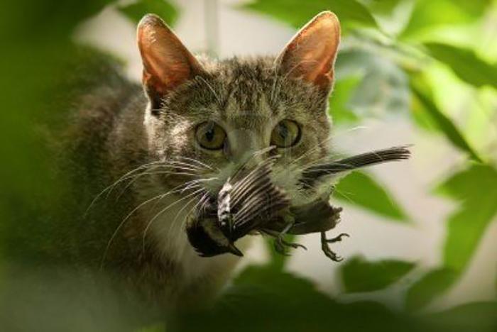Австралийское правительство планирует до 2020 года уничтожить как минимум 2 миллиона кошек.