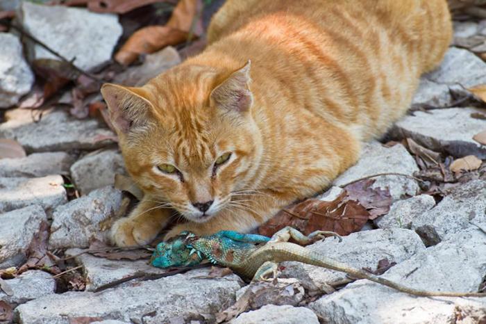 Кот, поймавший ящерицу.