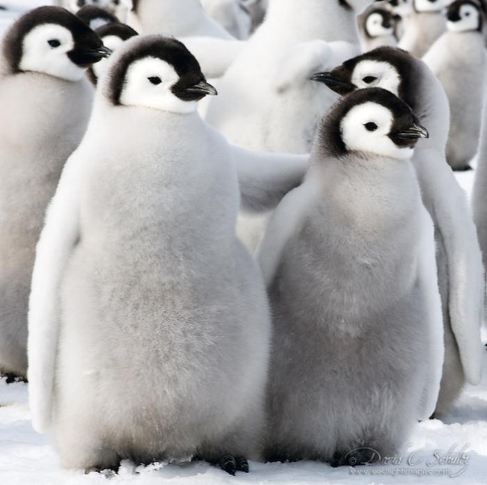 Пингвины в окружении снегов. Фото: David C. Schultz.
