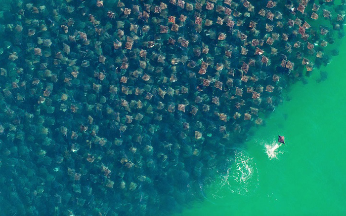 Стая скатов у берегов Мексики. - Фото Florian Schulz.