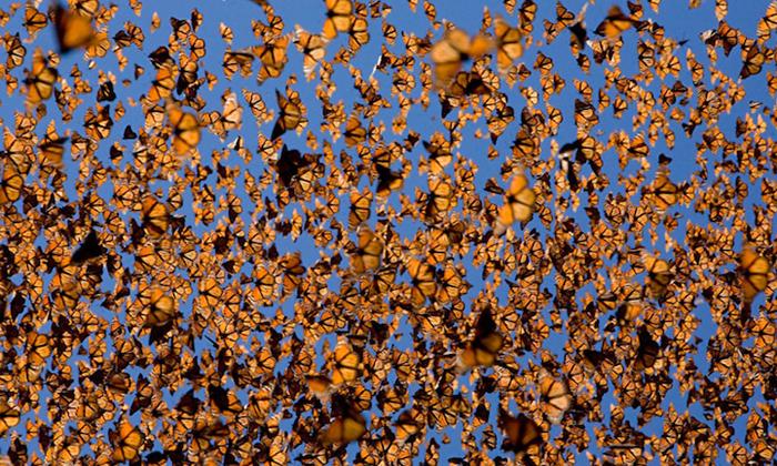 Облако бабочек Монарх. - Фото WWL.