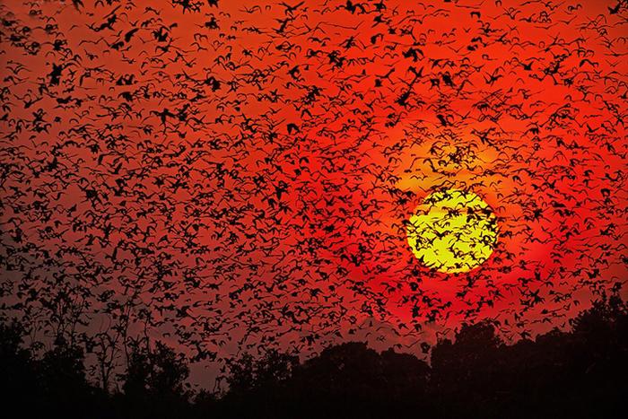 Тысячи летучих мышей на фоне заката. - Фото Greg du Toit.