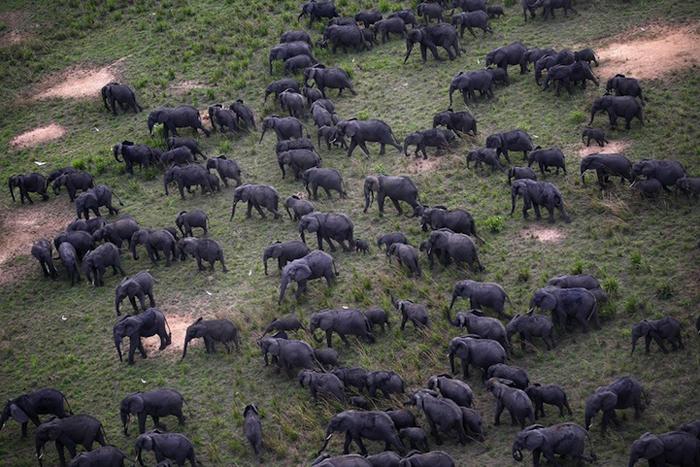 Мигрирующие слоны. - Фото Nuria Ortega.