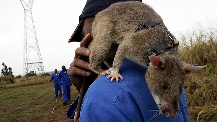 В программе принимают участие гамбийские хомяковые крысы.