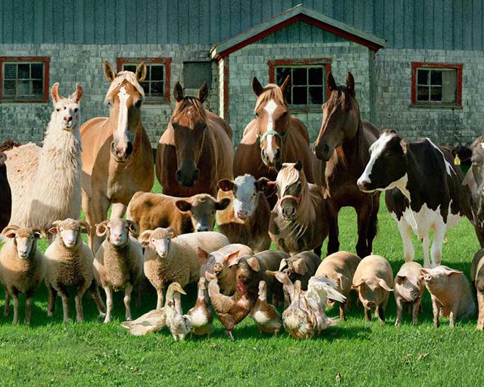 Сельскохозяйственные животные фотографии