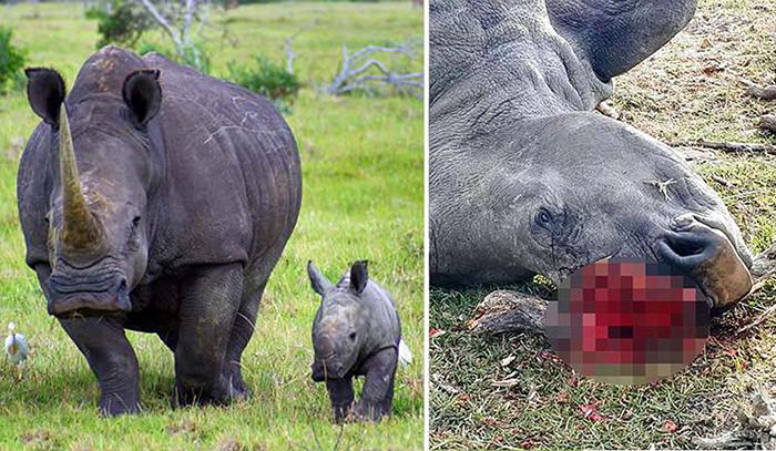 Бессмысленное убийство охраняемого носорога.