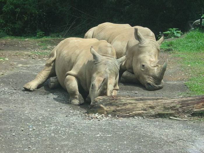 Последние самки северного белого носорога.