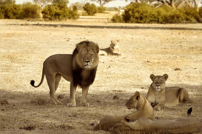 Черногривый лев Сесил.