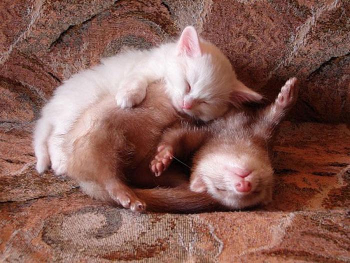 Хорек и котенок.
